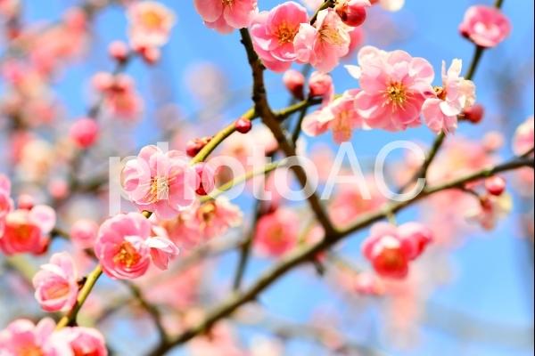 梅の花 3